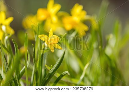 Yellow Blooming Daffodil. Sunny Day. It Rains In Sunny Day. Low Angle. Sunshine. Sunrise. Shallow De