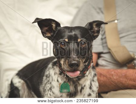 Small Dog With Tongue Out