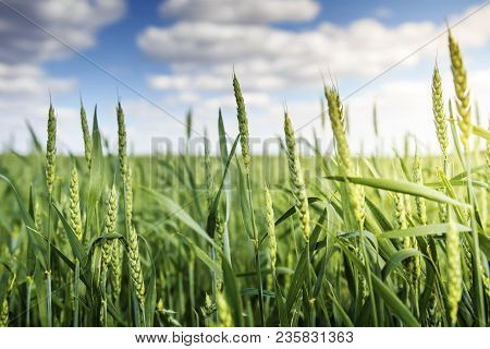 Green Wheat Ears Ripen Against Blue Sky With White Clouds In The Early Summer Morning. Background Of