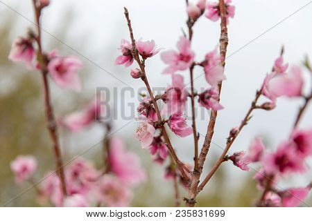 Blooming Pink Flowers On The Branches Of A Sakura Cherry Blossom Tree.
