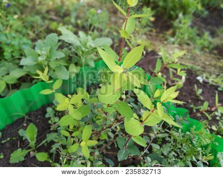 Green Honeysuckle In The Spring In The Garden