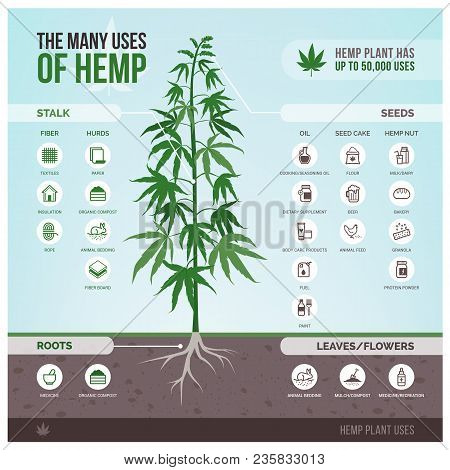 Industrial Hemp Cultivation, Products And Uses, Vector Infographic With Icons