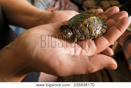 Baby Turtle In A Hand. Small Turtles, Pet In The Hands Of Girls