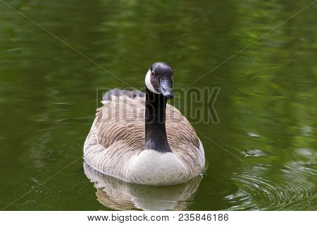 Close-up Of A Beautiful Swimming Canada Goose In Spring. View To A Floating Canada Goose (branta Can