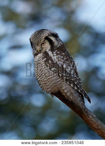 Northern Hawk Owl In Its Natural Habitat In Scandinavia