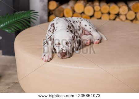 Sleeping Dog At Bed. Pet At Home.puppy Lying And Sleep.small Dalmatian Puppy. Copy Space