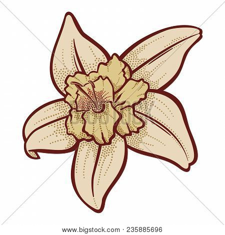 Vanilla Flower Illustration Isolated On White Background.