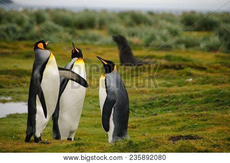 Impression Of The Wild Abundance Of King Penguins At Salisbury Plains, South Georgia. Salisbury Plai