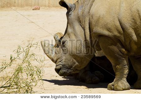 White rhino (Ceratotherium simum) poster