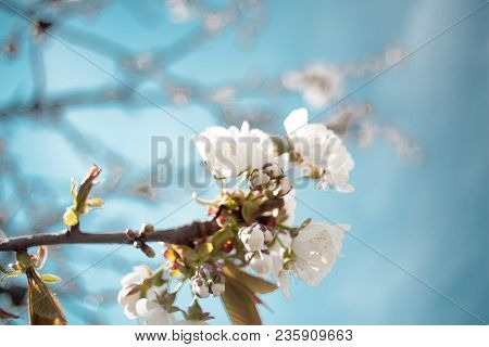 Cherry Apple Pear Peach Plum Tree Bloom. Branch Of A Purple Leaf Plum Tree Prunus Cerasifera