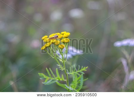 Medicinal Flowering Plant Tansy Or Tanacetum Vulgare.
