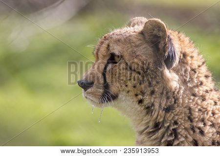 Hungry Cheetah Face In Close-up Profile With Dripping Saliva. Wild Cat Predator. Blurred Background