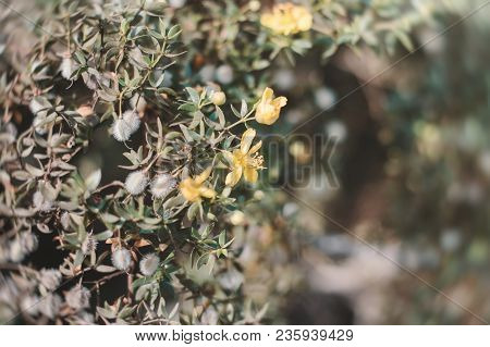 Yellow Flowers Of Larrea Tridentata Also Known As Creosote Bush. Background With Exotic Yellow Flowe