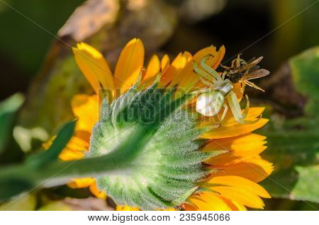 A Small White Spider Crab Caught A Bee From The Back Of The Flower