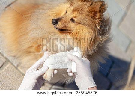 German Animal Medic Puts A Bandage On A Shetland Sheepdog