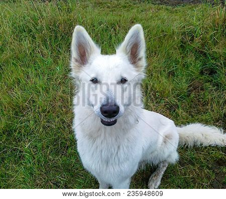 White Female Wolf On A Lawn Smiling In The Camera