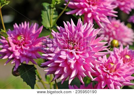 Pink Dahlia Flowers In The Botany Garden