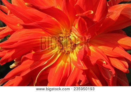 Red Dahlia flower in the botany garden poster