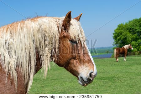 Close-up Portrait Of A Belgian Draft Horse. Beautiful Texas Springtime Pasture Background With Anoth
