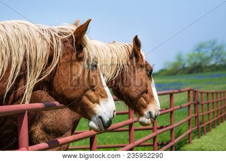 Two Belgian Draft Horses Reaching Over The Fence On Beautiful Texas Spring Pasture. Close-up. Bluebo