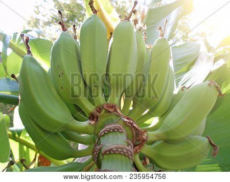 Green Bananas Grow On A Branch. Green Bananas Grow On A Branch.
