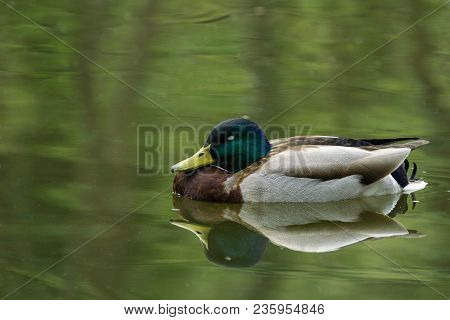 Close-up Of A Sleeping Duck Floating On Water. View To A Beautiful Sleeping Mallard Duck Who Is Refl