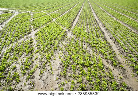 Young Spinach Plantation Furrows With Tractor Tracks In Mud. Vegas Bajas Del Guadiana, Spain