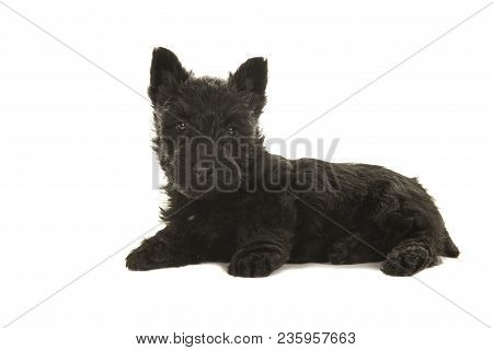 Cute Black Scottish Terrier Puppy Lying Down Seen From The Side Looking At The Camera Isolated On A