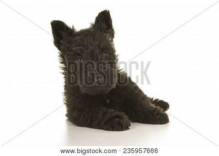 Cute Black Scottish Terrier Puppy Lying Down Seen From The Front Isolated On A White Background