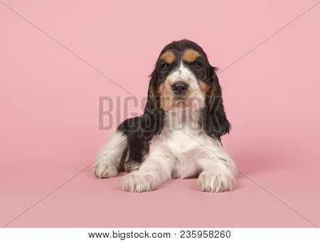Cute Multi Colored Cocker Spaniel Puppy Lying Down Looking At The Camera On A Pink Background