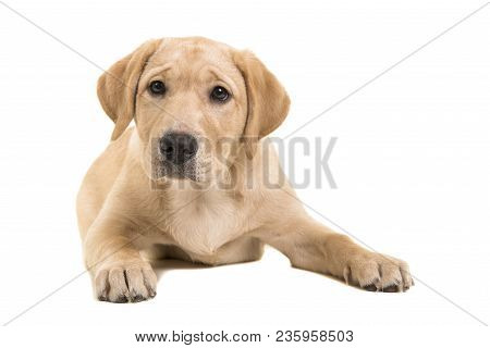 Blond Labrador Retriever Lying Down Looking At The Camera Isolated On A White Background