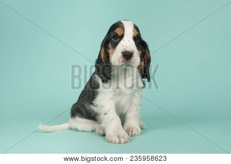 Cute Multi Colored Cocker Spaniel Puppy Lying Down Looking At The Camera On A Turquoise Blue Backgro