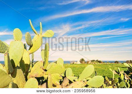 Prickly Pear Cactus Near The Sea In Puglia