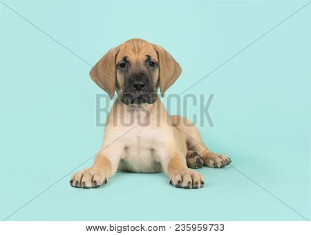 Cute Yellow Great Dane Puppy Lying Down Looking At The Camera On A Turquoise Blue Background