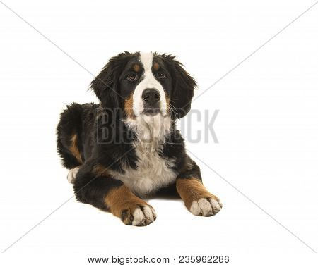 Young Bernese Mountain Dog Lying Down Isolated On A White Background