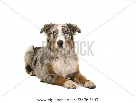 Pretty Lying Down Odd Eyed Blue Merle Australian Shepherd Dog Seen From The Front Looking At The Cam