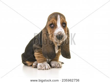 Cute Sitting Tricolor Basset Hound Puppy Looking Sad Or Remorseful Isolated On A White Background