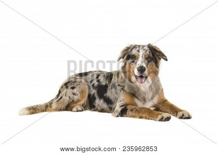 Pretty Lying Down Blue Merle Australian Shepherd Dog Looking At The Camera Isolated On A White Backg