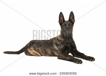 Pretty Young Dutch Shepherd Dog Lying Down Looking At The Camera Isolated On A White Background