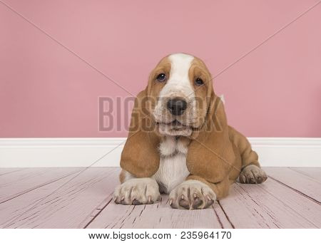 Cute Tan And White Basset Hound Puppy Lying Down Seen From The Front And Looking At The Camera In A