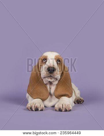 Cute Tan And White Basset Hound On A Lavender Purple Background Lying Down And Looking Up In A Verti