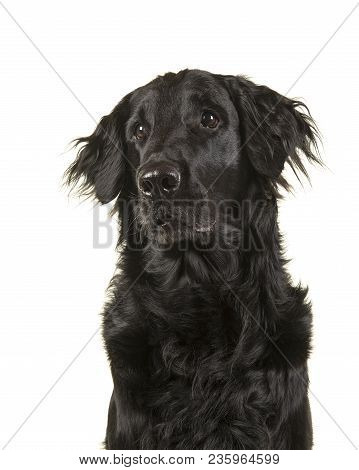 Portrait Of A Black Flatcoat Retriever Dog Looking Up And Sideways On A White Background
