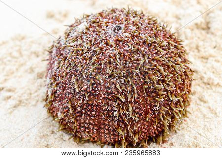 Wet And Red Sea Urchin With Yellow Needles Lying On The Sand In The Beach. Very Sharp And Clear Need