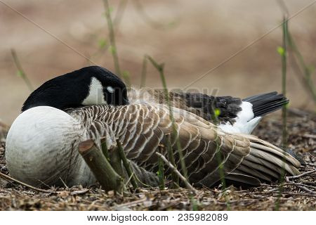 Close-up Of A Sleeping Canada Goose. View To A Beautiful Sleeping Canada Goose (branta Canadensis) I