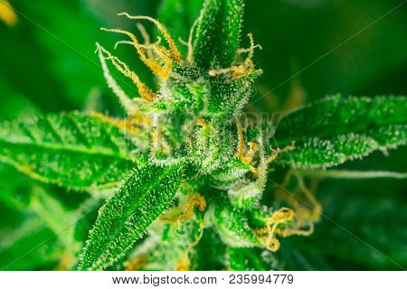 marijuana cbd thc. Concepts of legalizing medicinal herbs weed, bud cannabis, Macro shot with sugar trichomes, buds grown cannabis in the house, Bud cannabis before harvest poster