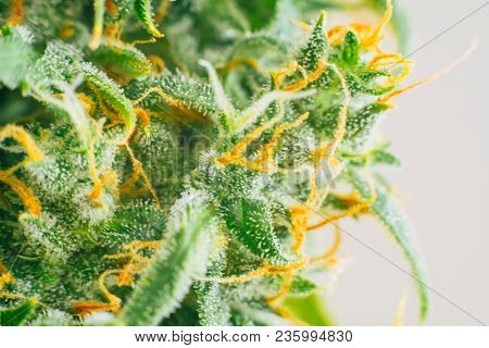 Macro bud cannabis, medicinal marijuana cbd thc. Concepts of legalizing herbs weed, Macro shot with sugar trichomes, buds grown cannabis in the house, Bud cannabis before harvest poster