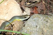 The yellow-bellied racer gets it's obvious name from the yellow coloration on it's lower scales. poster