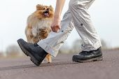 human trains jumps over legs with a shetland sheepdog poster