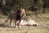 female and male Lion in the Masai Marra reserve in Kenya Africa poster
