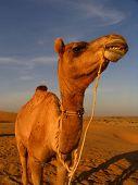 camel closeup poster